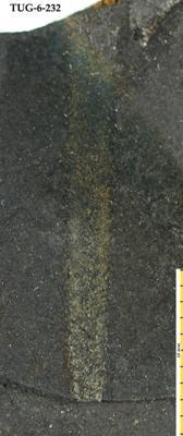 Retiolites geinitzianus Barrande, 1850, TUG 6-232