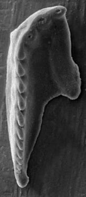 <i>Polychaetura sp. A Hints, 1998</i><br />Rapla borehole, 111.30 m, Rakvere Stage