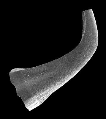 Walliserodus sp. n. b. Männik, 2008, GIT 555-49