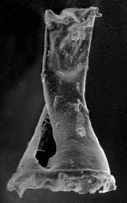 <i><i>Anthochitina primula</i></i><br />Jaagarahu borehole, 59.60 m, Jaagarahu Stage ( 272-34)