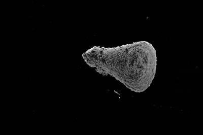 <i><i>Sphaerochitina</i> | Sphaerochitina sp.</i><br />Kaugatuma 509 borehole, 51.40 m, Paadla Stage ( 754-759)