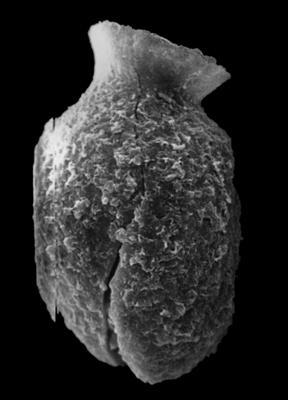 <i><i>Desmochitina amphorea</i></i><br />Rihtniemi, Pyhäranta,  m,  ( 307-11)