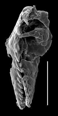 <i>Oenonites aff. latus</i><br />West Anticosti coastal outcrops, Canada,  m, Katian