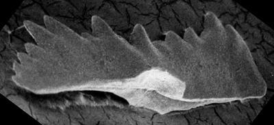 Conodonta