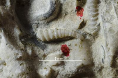 Cornulites aff. richmondensis (Miller, 1874), GIT 421-43-9