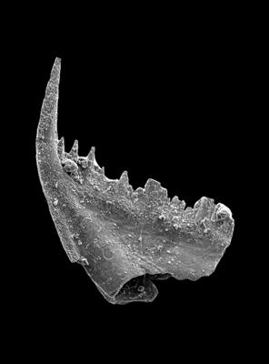 Baltoniodus variabilis (Bergström, 1962), GIT 449-32