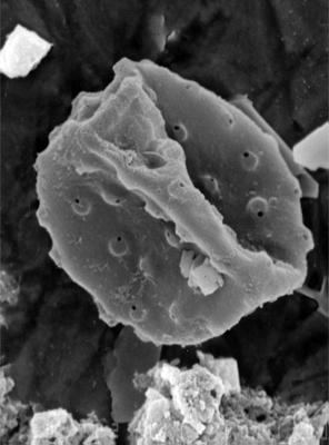 Tylotopalla sp., GIT 344-302