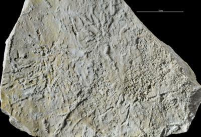 Chondrites isp., GIT 362-269-1