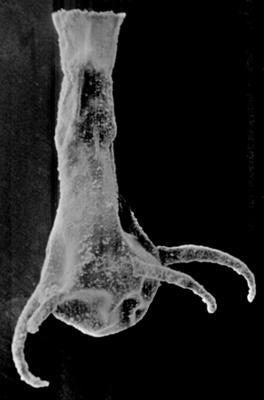 <i><i>Ancyrochitina fragilis</i></i><br />Ohesaare borehole, 65.70 m, Kaugatuma Stage ( 189-38)