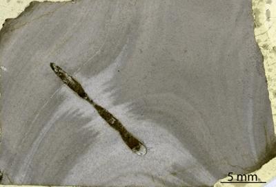 Densastroma cf. pexisum (Yavorsky, 1929), GIT 333-202