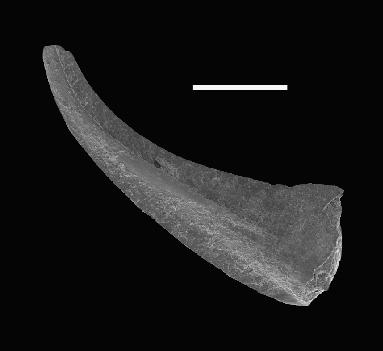 Walliserodus sp. n. C. Loydell et al., 2010, GIT 566-32