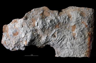 Taenidium isp., GIT 343-307