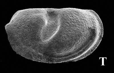 Myodocopida