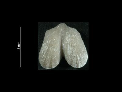Dicoelosia biloba (Linnaeus, 1758), GIT 37-22