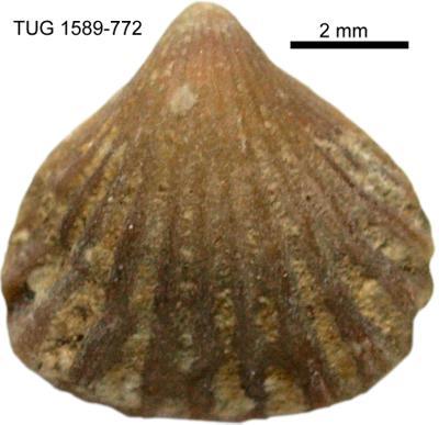Rhynchotrema parva Oraspõld, 1956, TUG 1589-772