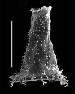 <i><i>Spinachitina cervicornis</i> | </i><br />Grötlingbo 1 borehole, Gotland, 424.60 m, Oandu Stage ( 688-14)
