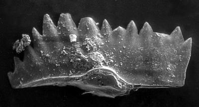 Ctenognathodus murchisoni (Pander, 1856), GIT 188-11