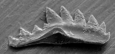 Ozarkodina excavata puskuensis Männik, 1994, GIT 254-4