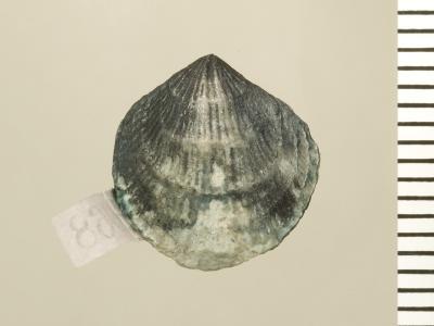 Eospirigerina hillistensis Rubel, 1970, GIT 130-107