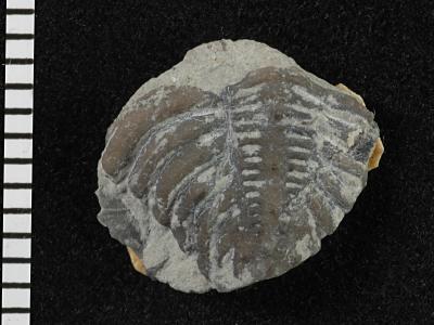 Encrinurinae