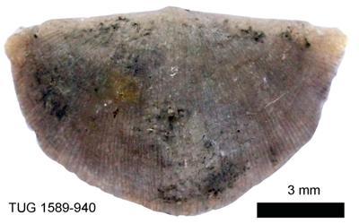 Sowerbyella (Viruella) liliifera Öpik, 1930, TUG 1589-940