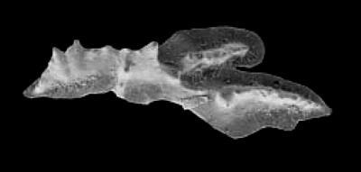Polyplacognathidae