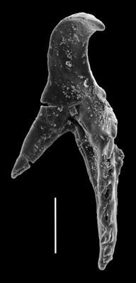 <i>Hadoprion cf. cervicornis (Hinde, 1879)</i><br />Paatsalu 527 borehole, 50.45 m, Wenlock