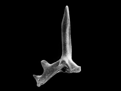 Ctenognathodus jeppssoni Viira et Einasto, 2003, GIT 371-3