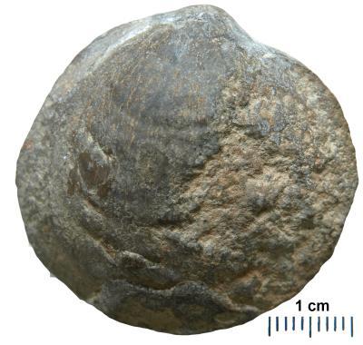 Panderina tetragona (Pander, 1830), TUG 668-161