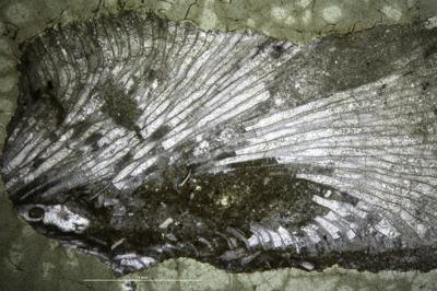 Batostoma granulosum Bassler, 1911, GIT 537-1323