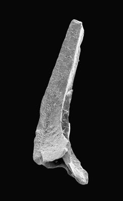Tripodus sp., GIT 495-60