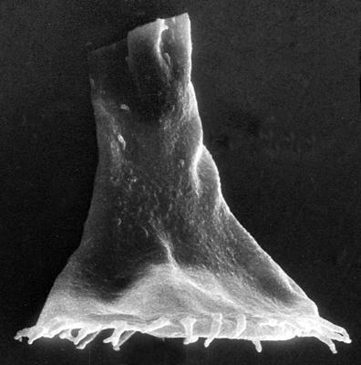 <i><i>Ancyrochitina ansarviensis</i></i><br />Viki borehole, 148.40 m, Adavere Stage ( 272-39)