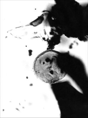Tasmanites cf. T. verrucosus Eisenack, 1962, GIT 344-270