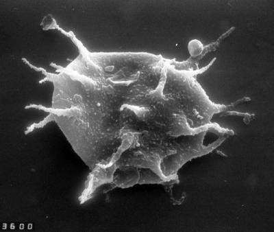 Dasydiacrodium obsonum Martin, 1988, TUG 1528-39