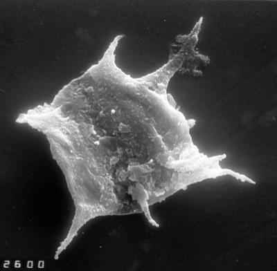 Goniosphaeridium sp., TUG 1528-40