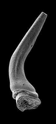 Semiacontiodus carinatus Dzik, 1976, GIT 449-78