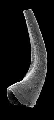 Semiacontiodus carinatus Dzik, 1976, GIT 449-67