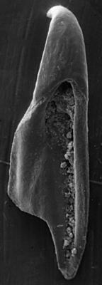<i>Polychaetaspis? sp. B Hints, 1998</i><br />Apraksin Bor 17 borehole, Leningrad Oblast, 113.60 m, Keila Stage
