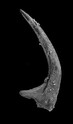 Oslodus semisymmetricus (Hamar, 1966), GIT 549-78