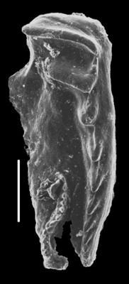 Rhytiprionidae