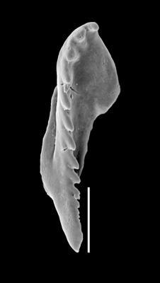 <i>Pteropelta gladiata Eisenack, 1939</i><br />Lelle D-102 borehole, 146.18 m, Vormsi Stage
