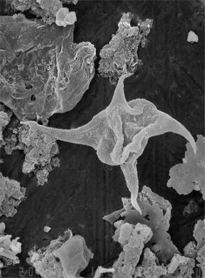 Veryhachium punctatum Uutela et Tynni, 1991, GIT 344-305
