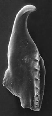 <i>Atraktoprion major Kielan-Jaworowska, 1966</i><br />Rapla borehole, 108.65 m, Rakvere Stage