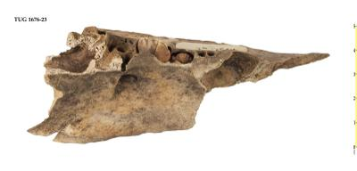 Artiodactyla