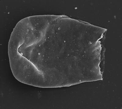 <i><i>Eisenackitina causiata</i></i><br />Ventspils D-3 borehole, 827.60 m, Adavere Stage ( 754-1346)