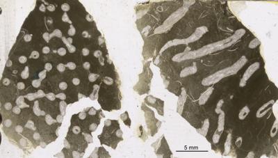 Syringopora multifaria Klaamann, 1962, GIT 90-56