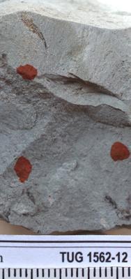 Pogonophora