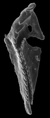 Tretoprionidae