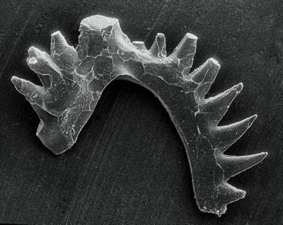 Kockelella manitoulinensis (Pollock, Rexroad et Nicoll, 1970), GIT 254-34