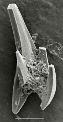 Pterospathodus eopennatus ssp. n. 2  Männik, 1998, GIT 255-8